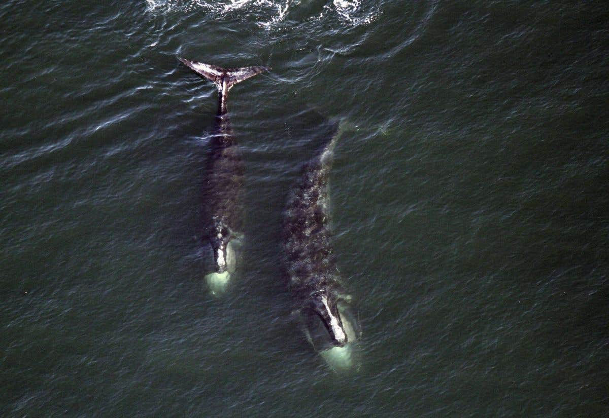 Vitesse réduite dans le Saint-Laurent pour sauver les baleines — Canada