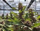 Dossier | L'industrie du cannabis