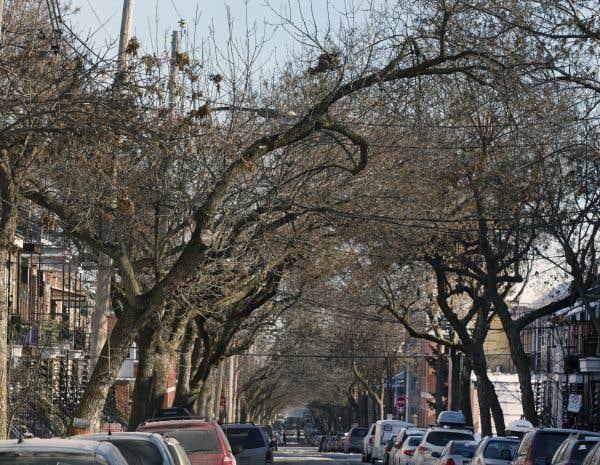 Montréal s'attaque à l'agrile du frêne sur les arbres du domaine privé