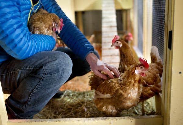 Des poules au jardin le devoir for Au jardin de fanny montreal