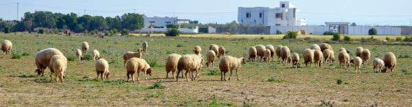Le berger, la brebis et le bélier