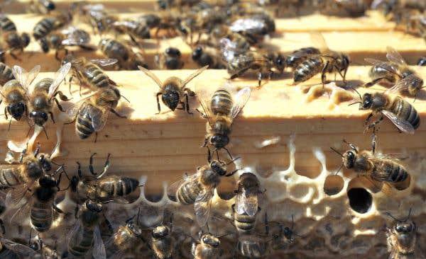 Les agronomes pourraient mieux défendre les abeilles