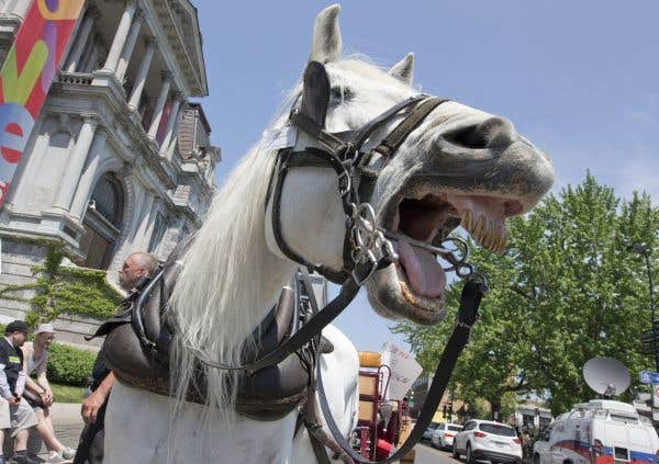 Les cochers (et les chevaux) se réjouissent d'avoir gagné leur bataille contre la Ville de Montréal. Les calèches pourront sillonner les rues de Montréal cet été. Mai 2016