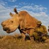 Brent Stirton, Afrique du Sud, Reportage de Getty Images pour National Geographic Magazine. Guerres du rhinoc&eacute;ros. <br />
