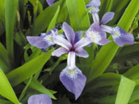 jardins - fleur de lis ou fleur d'iris?   le devoir
