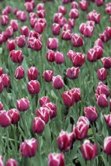 la tulipe néerlandaise à la conquête de nouveaux consommateurs