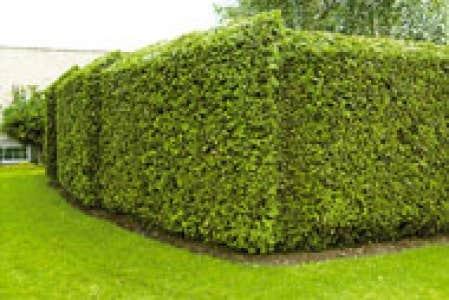 Jardins Le B A Ba De La Taille D 39 Une Haie De C Dre Le Devoir