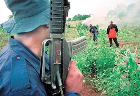 L&rsquo;escouade antinarcotique d&eacute;truit une plantation de marijuana en Jama&iuml;que.<br />