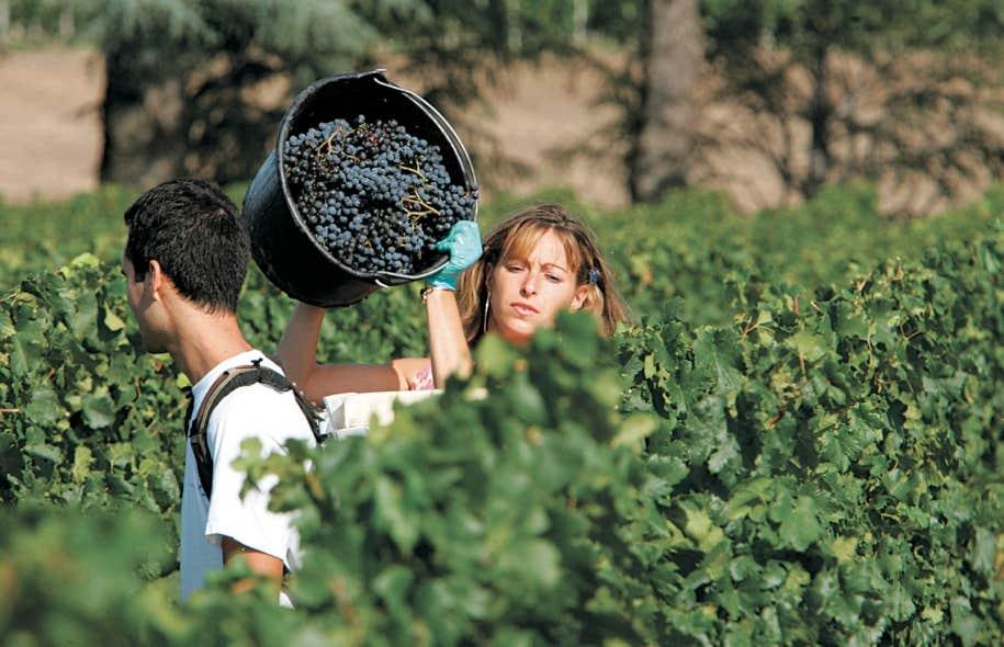 Récolte du raisin au domaine du château Cheval Blanc, à Saint-Émilion, dans le Bordelais. Le réchauffement du climat affectera neuf importantes régions viticoles du monde, selon une étude de chercheurs états-uniens, chinois et chiliens.