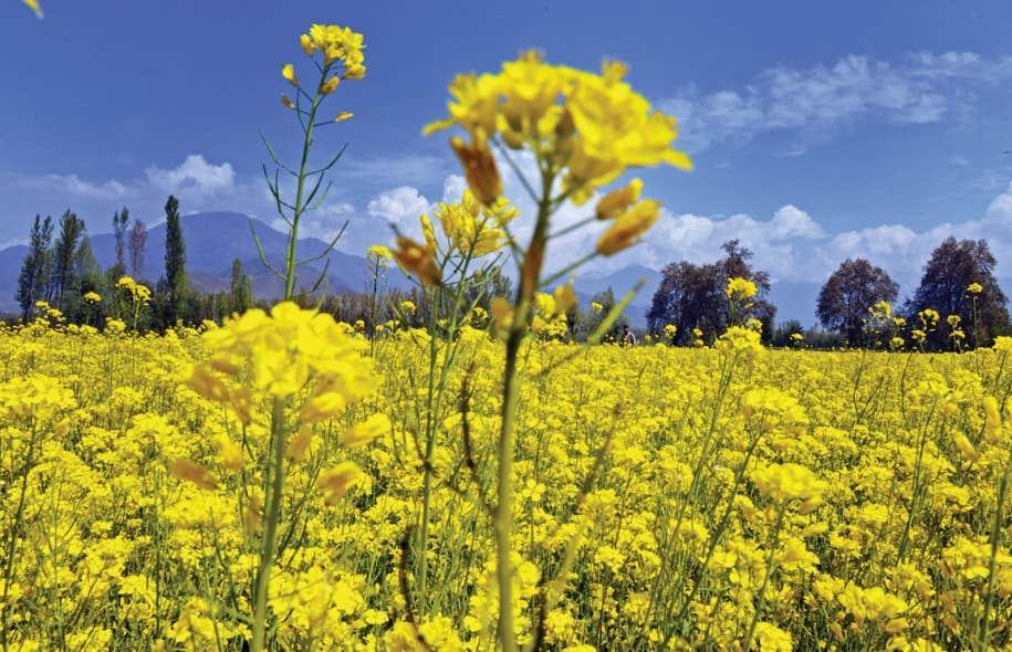 Les champs de moutarde en fleurs qui inondaient la Bourgogne sont choses du passé. La grande majorité des graines de moutarde utilisées pour fabriquer la moutarde « de Dijon » proviennent maintenant de l'étranger. Ci-dessus, un champ de moutarde au Kashmir, en Inde.