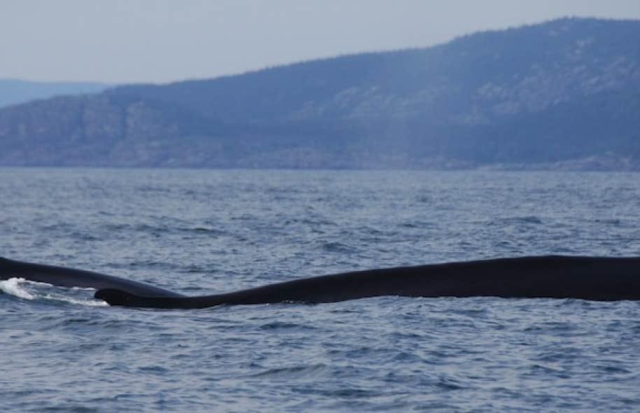 <p>Selon donn&eacute;es disponibles aupr&egrave;s du ministre des P&ecirc;ches, chaque baleine tu&eacute;e co&ucirc;te pr&egrave;s de 700 000 $ aux contribuables islandais.</p>