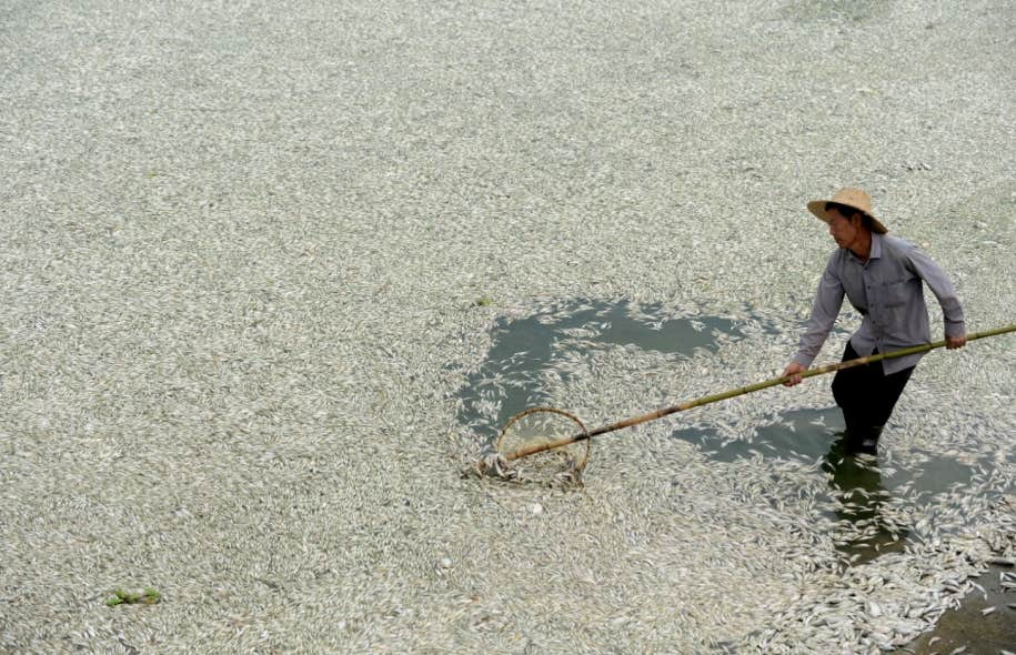 Un pêcheur récupère des poissons morts dans la rivière Fu, dans la province du Hubei.
