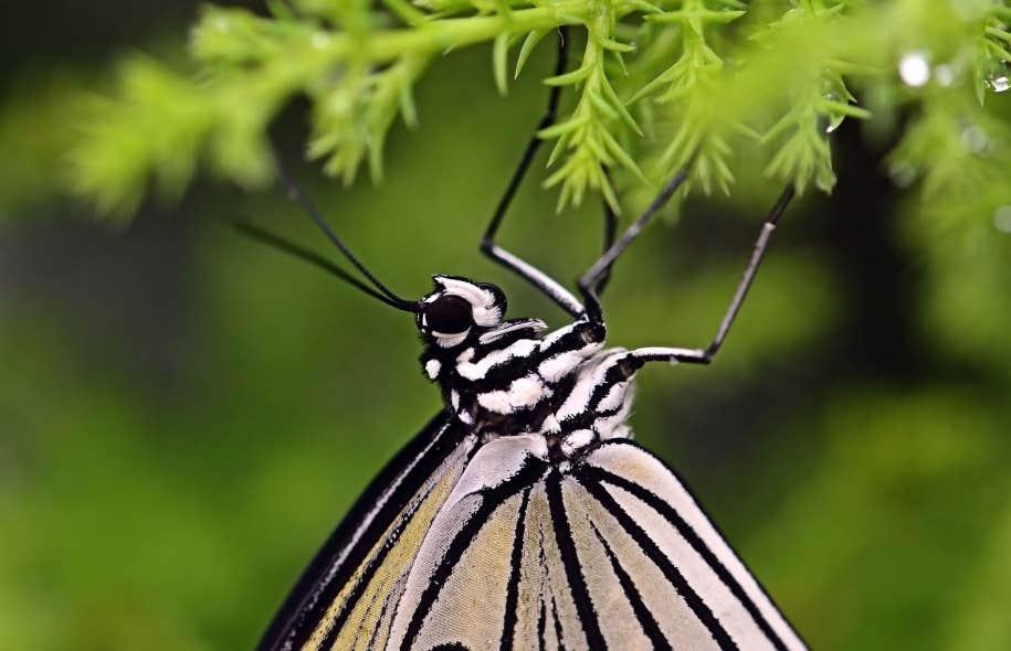 Chaque matin, les techniciens recueillent les quelque 200 à 300 papillons qui viennent d'éclore dans la pouponnière et les relâchent dans la grande serre.