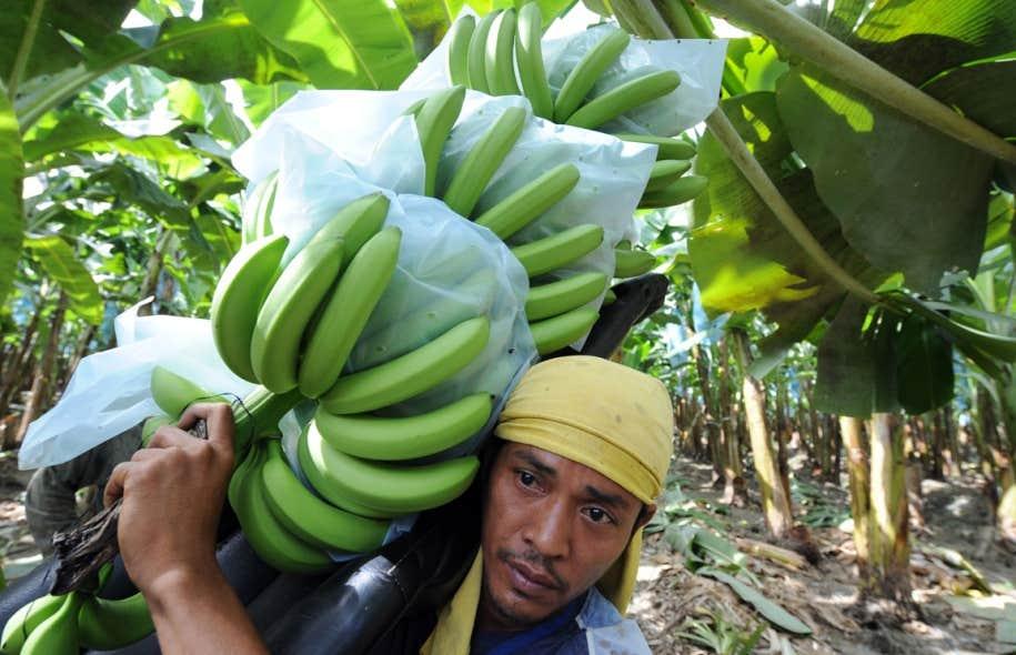 La jaunisse fusarienne a notamment été signalée en Asie, selon l'Organisation des Nations unies pour l'alimentation et l'agriculture (FAO).