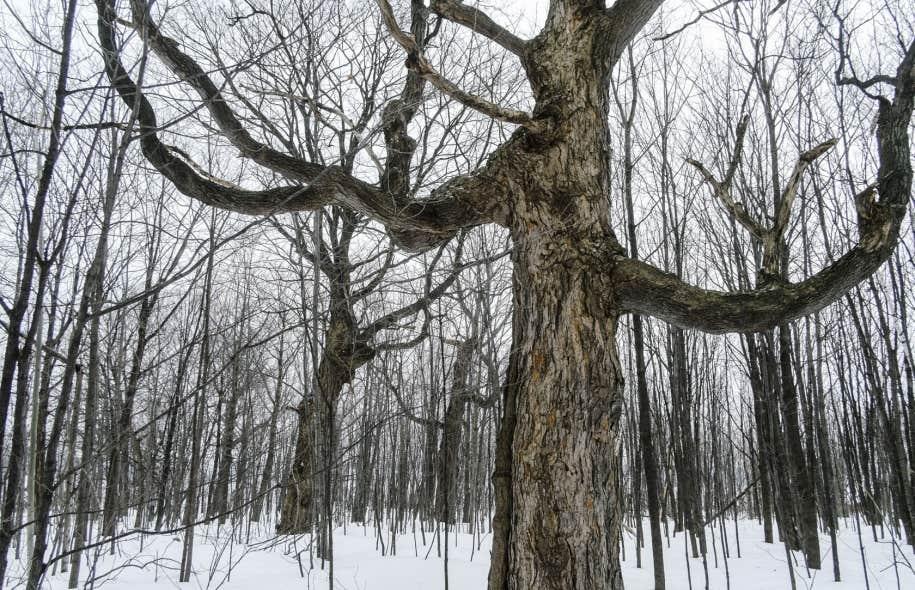 Une des façons d'en apprendre sur le passé d'un écosystème est la technique des anneaux de croissance des arbres, qui permet demesurer la taille des anneaux et de les comparer à des données climatiques, explique le chercheur Matthew Peros.