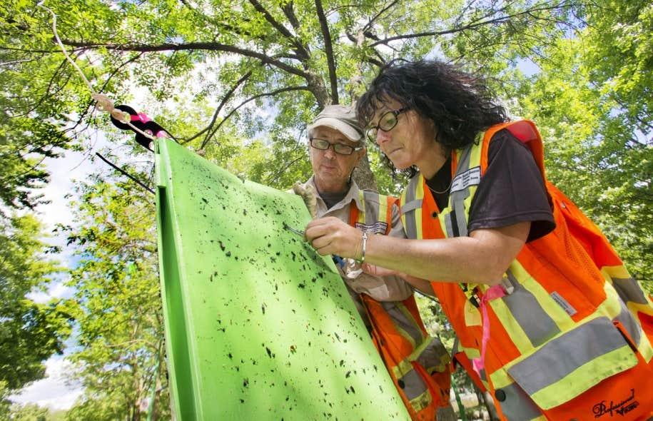 Depuis le début du mois de juin, l'entomologiste de Ressources naturelles Canada Robert Lavallée et son assistante Julie Dubé ont installé une trentaine de pièges pour détecter l'agrile du frêne affectant les arbres montréalais.