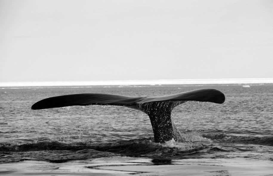 Le retour de la baleine boréale nous entraîne en terres nordiques avec le biologiste Bernard Leblanc, spécialiste de l'espèce.