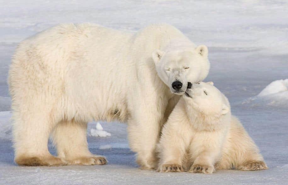 Assez L'ours polaire canadien fera face à l'extinction d'ici 2100 | Le  IK48
