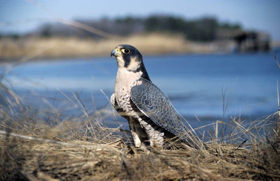 Le faucon pèlerin figure parmi les espèces dont la gestion risque de pâtir avec ces nouvelles compressions.