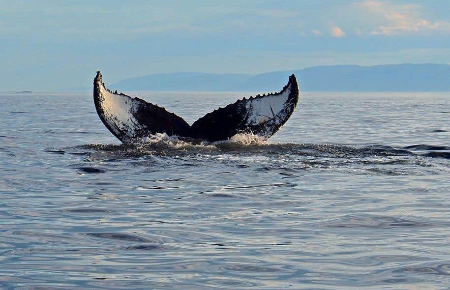 Après un hiver dans les eaux chaudes des Caraïbes, Tic-tac-toe le rorqual à bosse est rentrée dimanche dans le parc marin du Saguenay–Saint-Laurent.