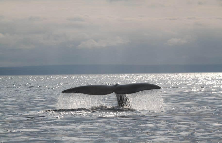 Le secteur convoité par Shell est fréquenté par des espèces en voie de disparition, dont la baleine noire.