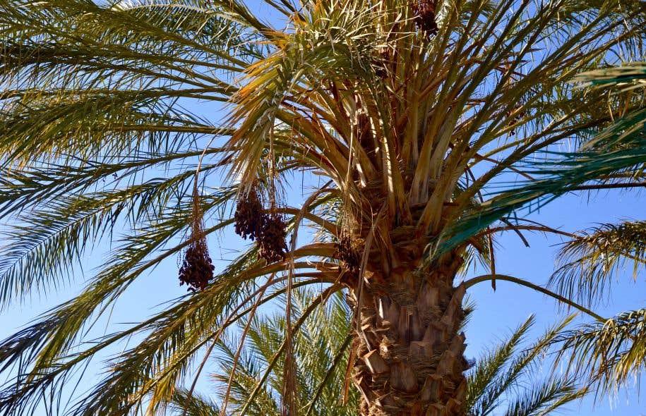 Le fruit qui fait date le devoir - Fruit qui pousse sur un palmier ...