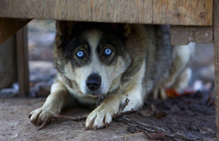 La SPCA espère que le ministre Paradis utilisera la nouvelle loi pour interdire l'enchaînement en permanence des chiens.