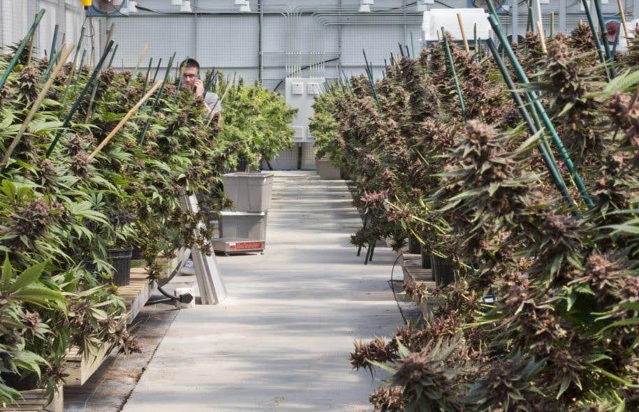 Le seul producteur de cannabis autorisé au Québec doit construire une nouvelle serre seulement pour répondre à la demande actuelle.
