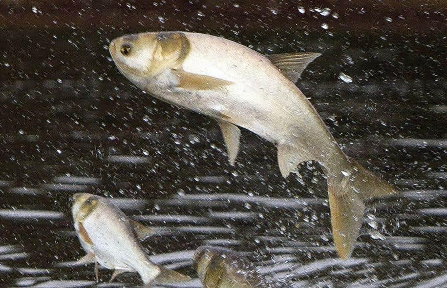 La carpe asiatique consiste en fait en quatre espèces de carpes introduites dans les années 70 dans les exploitations piscicoles du sud des États-Unis.