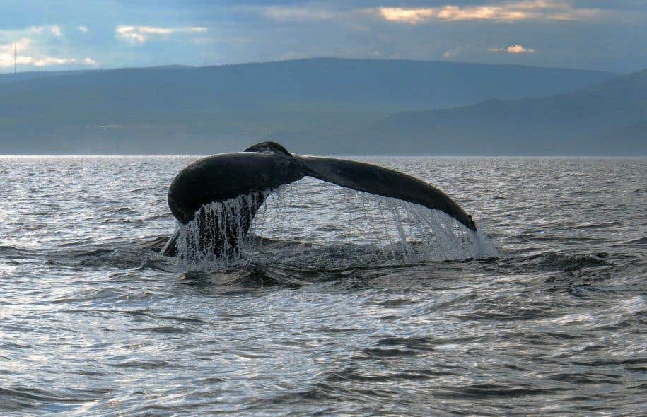 Le Groupe de recherche et d'éducation sur les mammifères marins insiste sur l'importance du Saint-Laurent pour le béluga, mais aussi pour une douzaine d'autres espèces de cétacés.