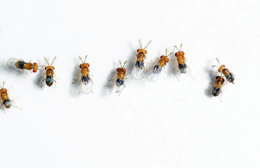 Le Trichogramma-micro est une micro-guêpe qui parasite les œufs des papillons ravageurs.
