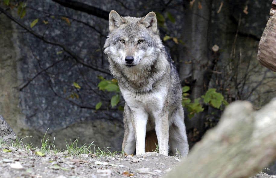 À la suite de ses observations, le zoologiste américain L. David ...: http://www.ledevoir.com/societe/actualites-en-societe/477728/idiotismes-animaliers-y-a-t-il-un-male-alpha-dans-la-meute-de-loups