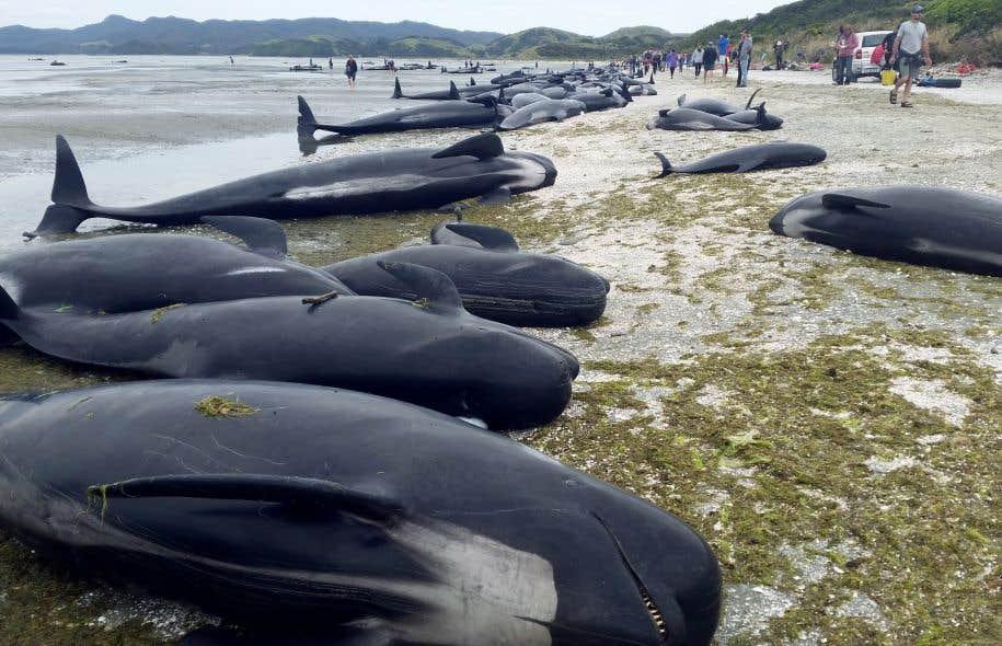 Il s'agit du troisième échouage collectif de baleines en importance à avoir été recensé en Nouvelle-Zélande.