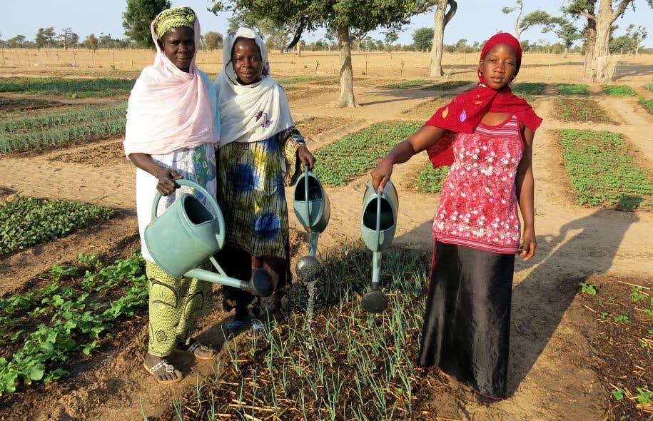 Le Sénégal cultive désormais le faux mimosa, une plante fourragère résistant à la sécheresse et limitant l'érosion, et qui permet de capter davantage d'azote dans l'air et d'enrichir la structure du sol.