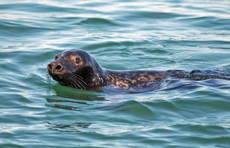 Le phoque gris est suffisamment abondant dans le Saint-Laurent pour ralentir le rétablissement de certaines espèces de poissons.