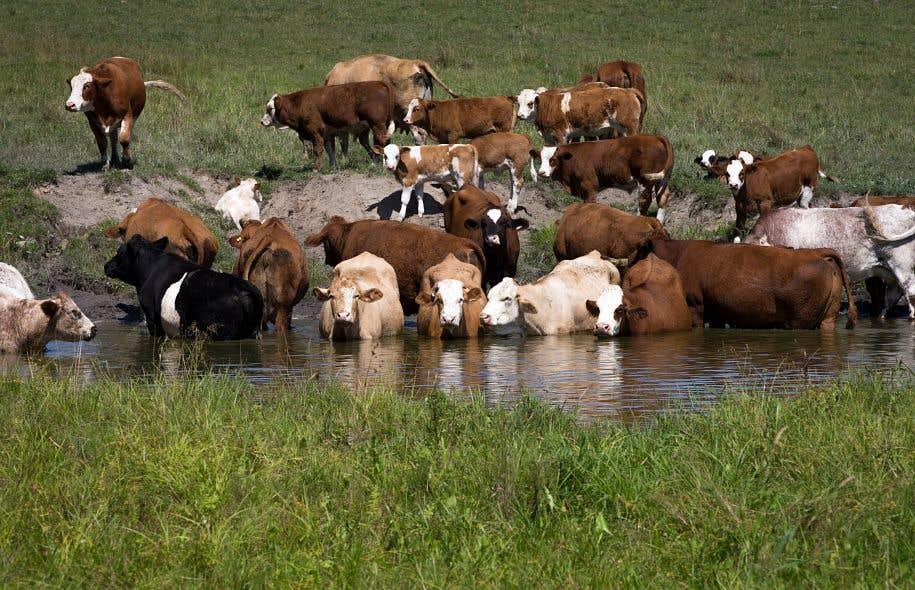 La viande qui demande le plus d'eau à produire est celle du bœuf.