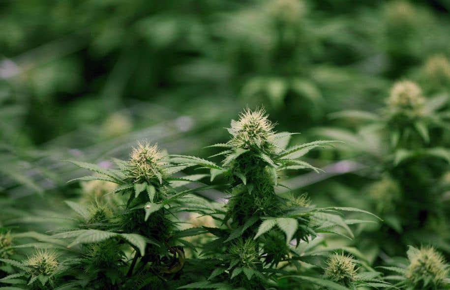 Pas de cannabis dans les logements disent des associations de propri taires - Loi pour les proprietaires ...