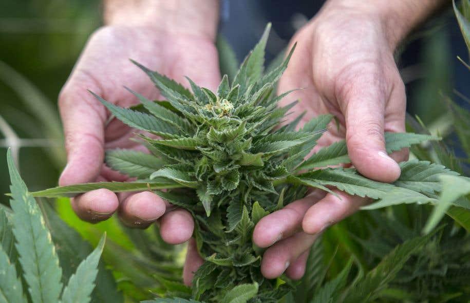 Au lendemain du dévoilement de son projet de loi visant à légaliser la marijuana, le gouvernement fédéral s'interroge sur l'application de la nouvelle législation dans les communautés autochtones du Canada.