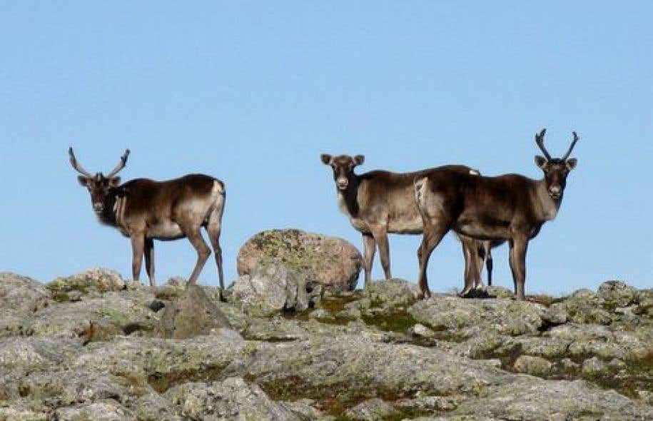 Le caribou migrateur est particulièrement vulnérable aux impacts de l'activité humaine et des changements climatiques sur son environnement.