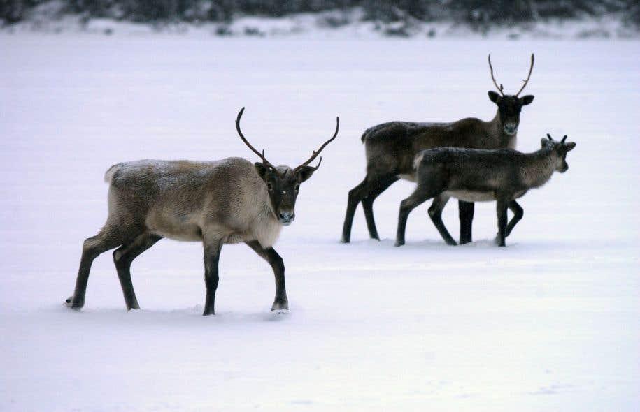 Une étude sera finalement menée sur la viabilité des derniers caribous de la région de Val-d'Or, une harde au seuil de l'extinction.