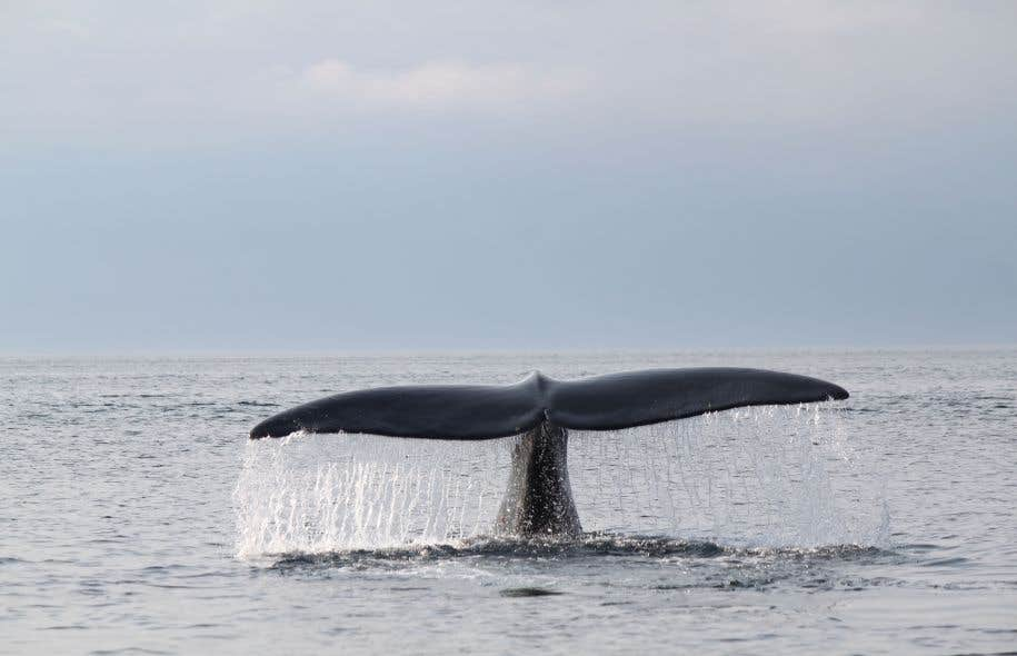Ces trois carcasses s'ajoutent à trois autres baleines noires retrouvées mortes dans le golfe du Saint-Laurent au cours de l'été 2015.
