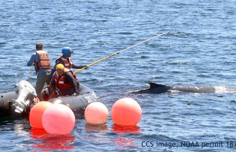 Les opérations pour libérer des baleines de plus de 60 tonnes sont toujours risquées pour les sauveteurs.
