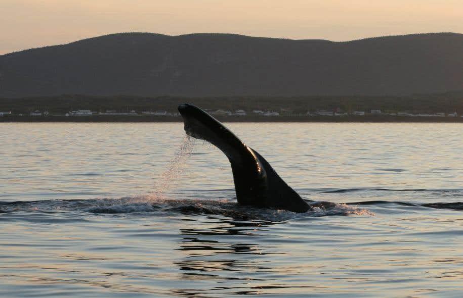 <p>Les baleines noires de l'Atlantique Nord sont en voie de disparition. Il ne resterait environ que 525 spécimens vivants.</p>