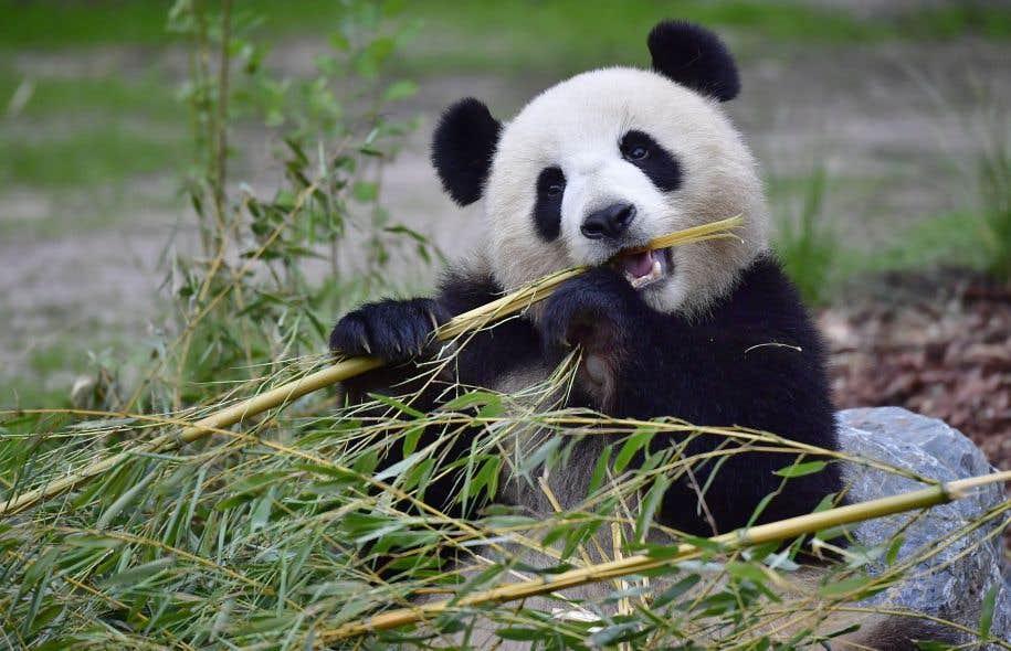Le dernier recensement national réalisé par les autorités chinoises indiquait qu'il y avait 1864 pandas géants dans la nature, rappelle Florian Kirchner.