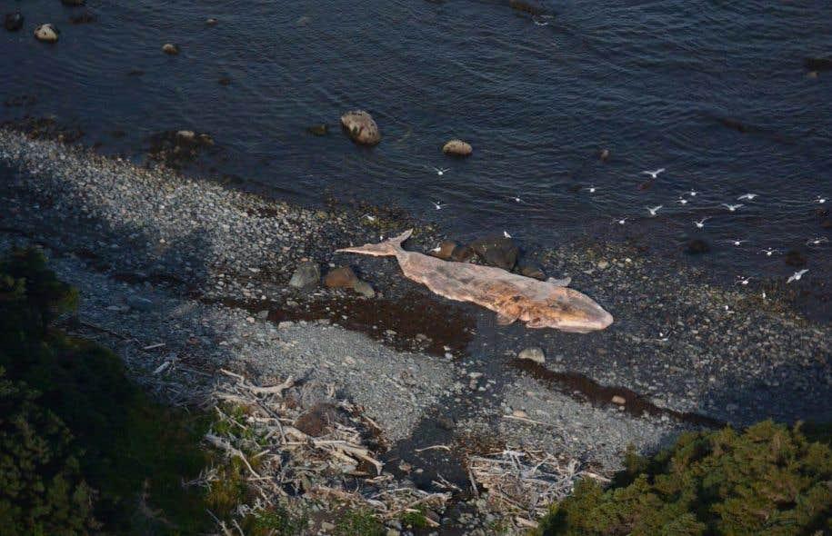 Une carcasse de baleine noire sur la côte ouest de Terre-Neuve (photo non datée).