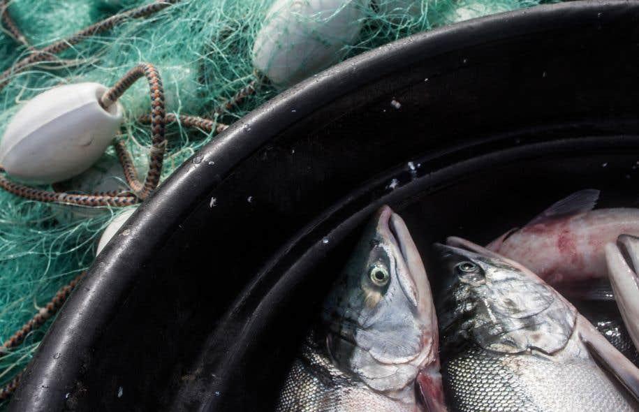 Dans les mois qui ont suivi l'approbation du gouvernement fédéral à l'arrivée du poisson transgénique, les grandes chaînes alimentaires ont indiqué tour à tour qu'elles ne proposeront pas le saumon sur leurs étalages.