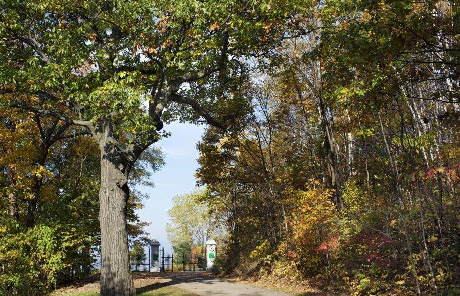 Quelque 150 frênes croissant dans les parterres aménagés sur la montagne seront condamnés dès cet automne.