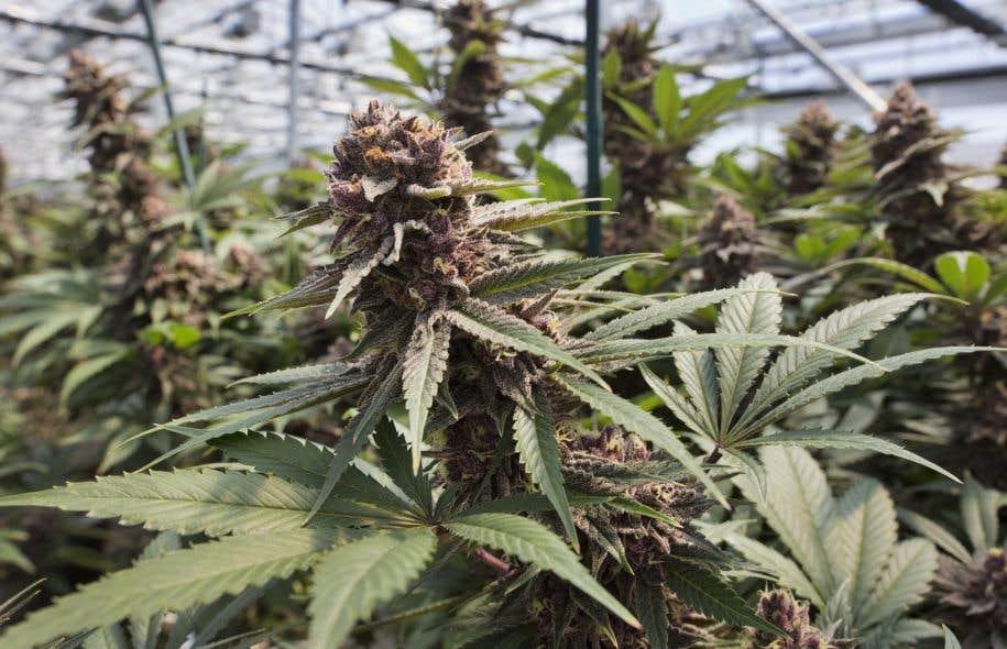 <p>Le projet de loi C-45, qui est à l'étude au comité permanent de la santé cette semaine, permet de faire pousser jusqu'à quatre plants de cannabis d'une hauteur maximale de 100 cm.</p>