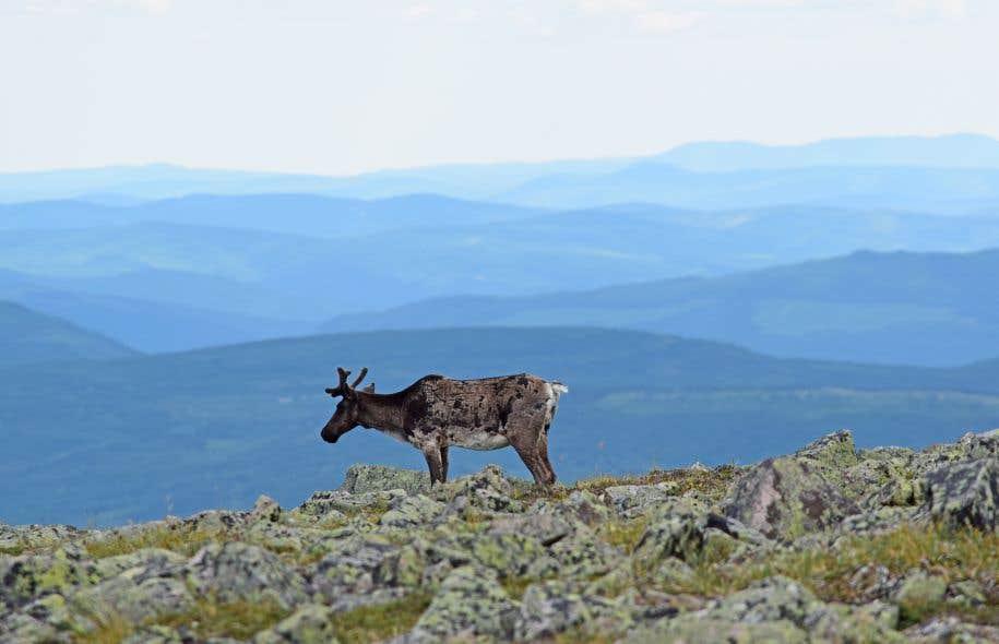Le parc national de la Gaspésie abrite une population de caribous forestiers.