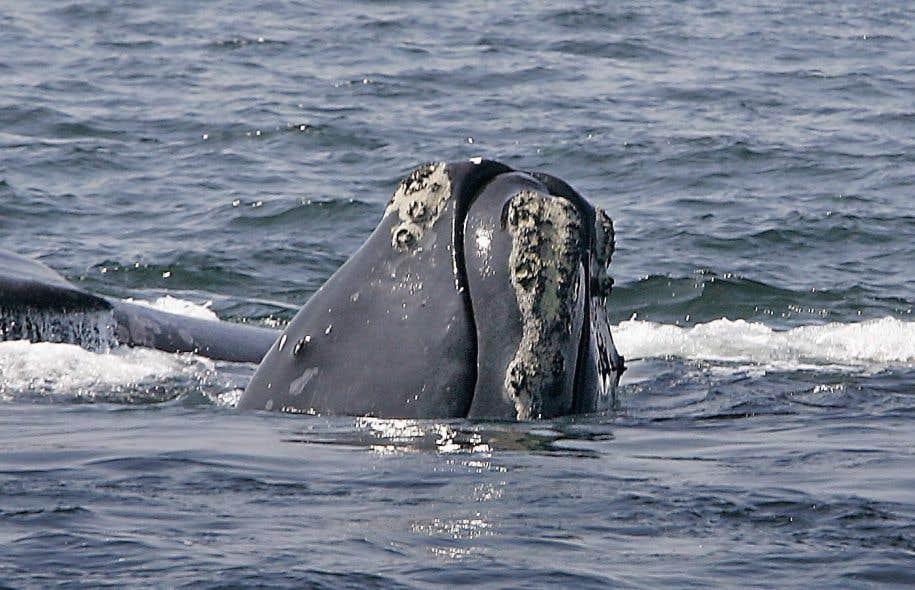 Treize baleines noires ont été retrouvées mortes dans le golfe du Saint-Laurent depuis le début de l'année et trois autres dans les eaux américaines.
